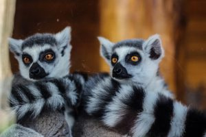 Close-up of ring-tailed lemur (Lemur catta)
