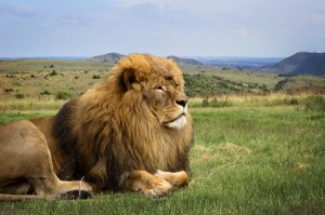 A beautiful lion is resting in African expanse on the background of hills on the horizon. Close up.